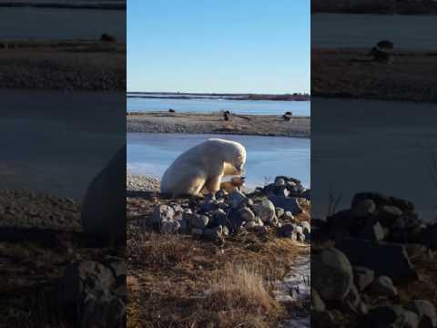 這位極地導遊看見北極熊在雪橇犬身旁便趕緊錄影,沒想到接下來北極熊「超像人類的舉動」讓他忍不住瞪大眼睛!