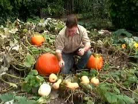 Hoggywart - Martin Fish from Garden News explains how & when to harvest Pumpkins & Squashes.