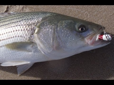 Beach Fishing for Stripers – Bucktailing in Rough Shore Break