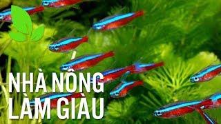 Nông dân thu bạc tỷ nhờ nuôi cá cảnh xuất khẩu