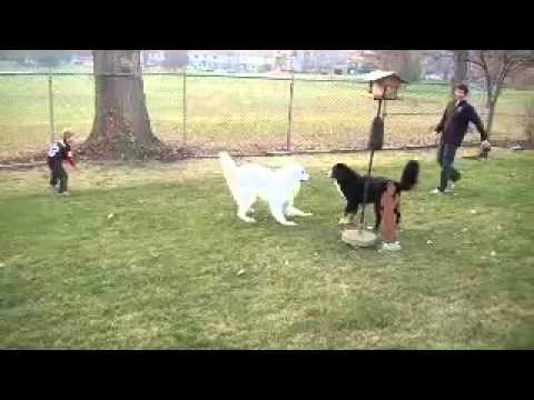 "Dog Tackles ""Troy Polamalu,"" Strips Ball"