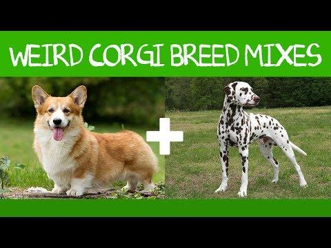Corgi Goes With Everything: 16 Adorable Corgi Mixes!