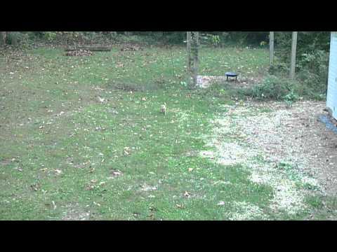 Chihuahua chasing young deer
