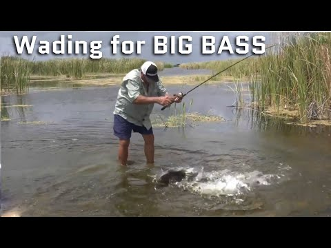 Wading In Ankle Deep Water For BIG BASS
