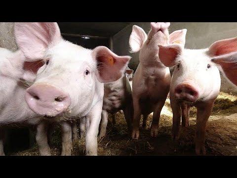 Afrikanische Schweinepest auf dem Vormarsch in Europa