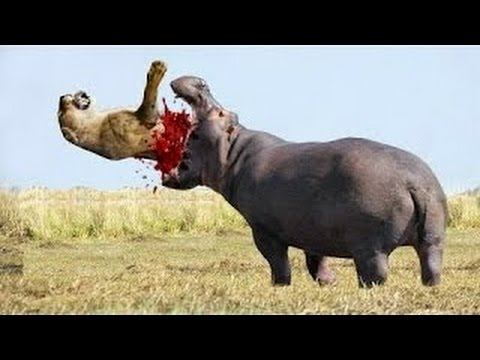 Lion attack buffalo, cheetah vs buffalo   The real fight of Lion, Buffalo and Cheatah