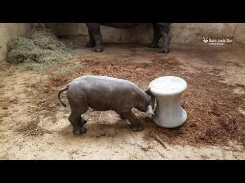 Suloinen sarvikuono opettelee puskemaan