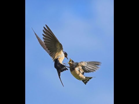 Chim yến bay