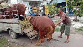 Video Sapi Sulthon JR Dan Jinak TV Jr Naik Truk Pengambilan Dari Rumah Petani MP3, 3GP, MP4, WEBM, AVI, FLV Agustus 2019