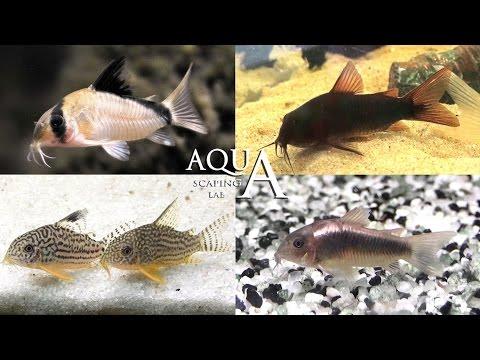 acquariofilia - corydoras