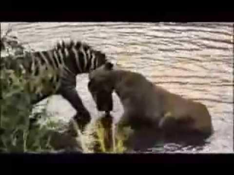 zebra afoga leao