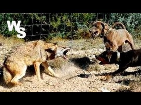 Video Coyote Attacks Dogs I Shoot With Glock 26 download in MP3, 3GP, MP4, WEBM, AVI, FLV January 2017