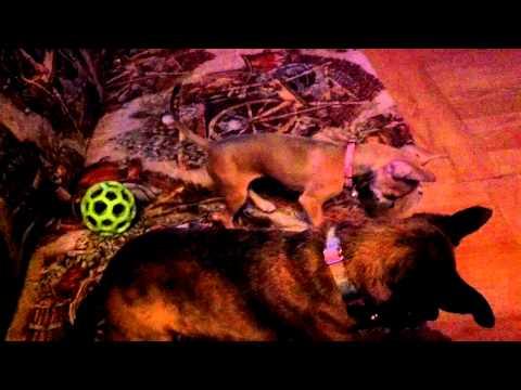 Chihuahua puppy vs chihuahua adult – vicious battle