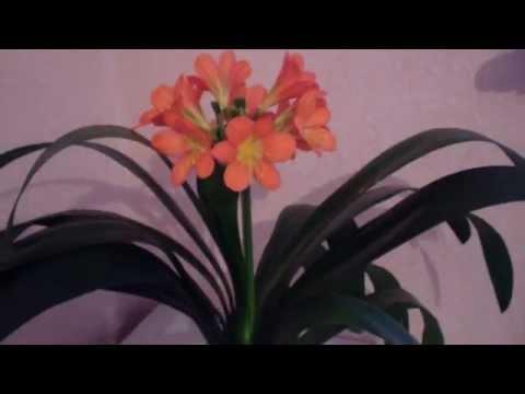 Кливия — кафрская лилия
