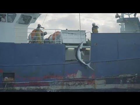 Αδιάκοπα συνεχίζεται η παράνομη αλιεία του απειλούμενου μπλε καρχαρία…