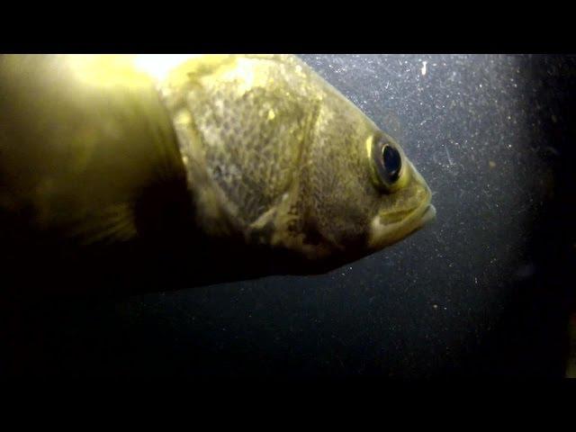 シーバスの捕食音とキラキラ舞うイワシのウロコ【水中映像】