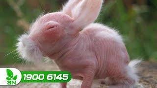 Chăn nuôi | Trị bệnh cầu trùng ghép bại huyết cho thỏ
