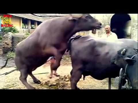 Video ||Very Hard Horse Mating Video 2017 – Horse Very Hard to Release | Wild Mating Videos2017|| download in MP3, 3GP, MP4, WEBM, AVI, FLV January 2017
