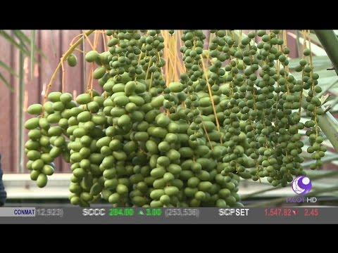 อินทผาลัม ฟารุกฟาร์ม เขตมีนบุรี (12 พ.ค. 60) คัมภีร์วิถีรวย Special | ช่อง 9 MCOT HD