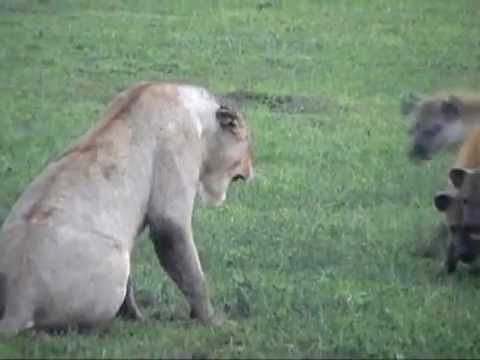 safari - Tanzania Safari: Lion vs. Hyena on a Serengeti Safari See http://www.tanzaniaodyssey.com/tanzania-safari.htm for information, rates, bookings and more videos...