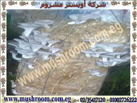 Mushroom cultivation in greenhouses - Oyster Mushrooms - Orman Garden 2012