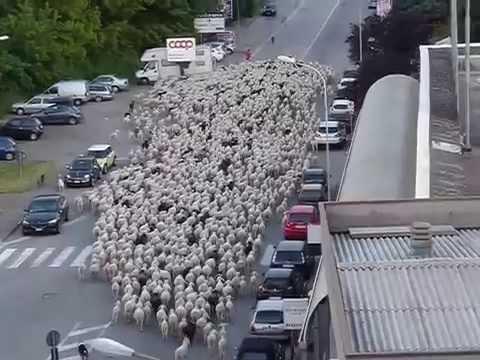 Pecore nel centro di Busto Arsizio