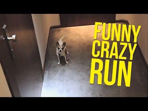Funny crazy run of Pancho chihuahua