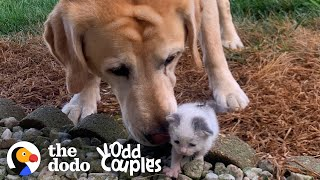 Tiniest Kitten Grows Up Pouncing On Her 115-Pound Lab Brother | The Dodo Odd Couples by The Dodo