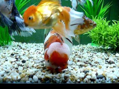 Oranda Big 24cm Oranda Goldfish aquarium tank calico oranda ryukin