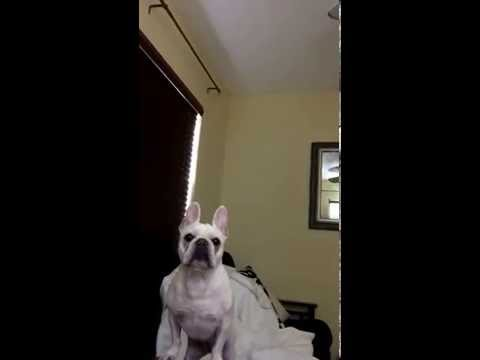 "Budweiser Super Bowl Commercial ""Lost Dog"" Reaction From French Bulldog 2015"