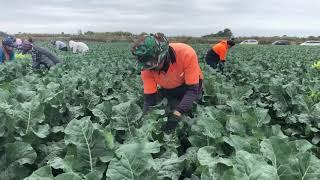 Video Brokoli stick...... pengurangan sayur 3 hari  sebelum panen biar hasil maksimal .....! MP3, 3GP, MP4, WEBM, AVI, FLV April 2019