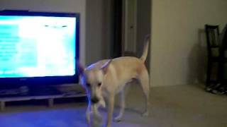 Собака и опера