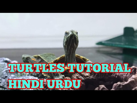 WATER TURTLES | RED EAR SLIDERS TUTORIAL IN URDU / HINDI !!!