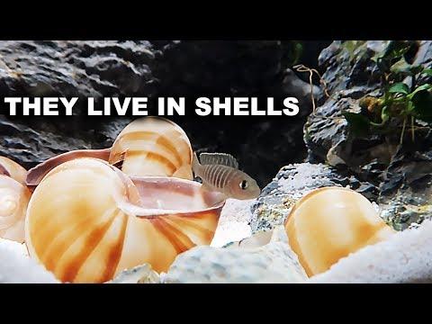 Shell dwelling fish, Planted aquariums and meeting king of DIY fans!_Akvárium. Heti legjobbak