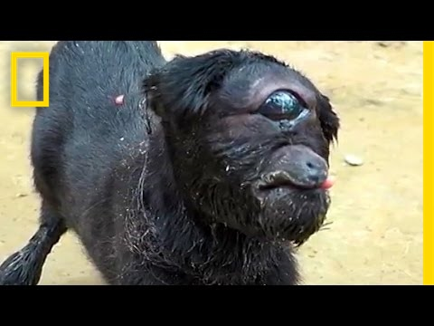"""""""Cyclops"""" Goat Born in India 