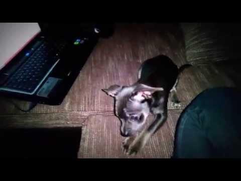Hund sitz und platz beibringen – Chihuahua Welpe Training