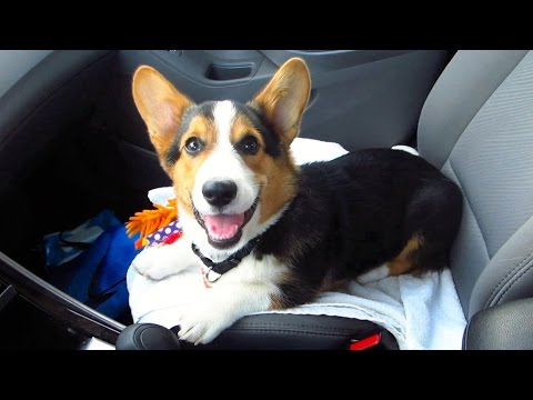 CORGI DOG SMILE FILLED DAY – Life After College: Ep. 352