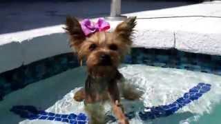 Teeny Wonder Yorkie Dog, Chloe Polka Dot Pool Surfs, and Swims - YouTube
