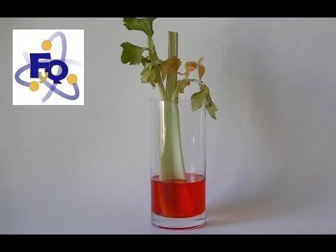 capilaridad. - Experimento 265 del blog fq-experimentos. Si te interesa el tema de la capilaridad, la transpiración vegetal y el transporte de agua en las plantas puedes le...