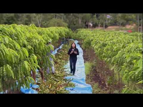 Destaque no Globo rural apresenta colheita,de café em NOVA BRASILÂNDIA/RO.