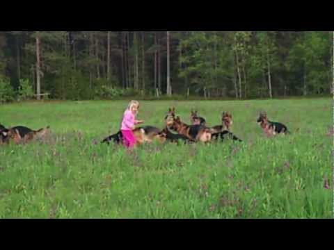 playing - German Shepards from kennel Finika in Norway and five year old Pernille playing here alone with 14 dogs. Who said that German Shepards are dangerous to kids ...