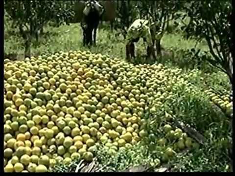 Maior parte da produção de laranja em Santana do Mundaú pode se perder