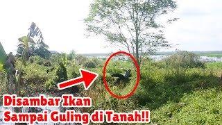 Video Mancing di Sarang Ikan Gabus!!! MP3, 3GP, MP4, WEBM, AVI, FLV April 2019