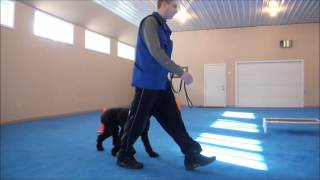 Gracie (Poodle) Boot Camp Dog Training