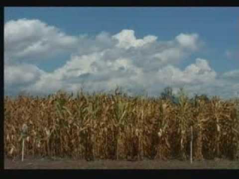 """""""Дан поља кукуруза"""""""