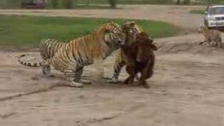 They Are Feeding Tigers With A Living Ox