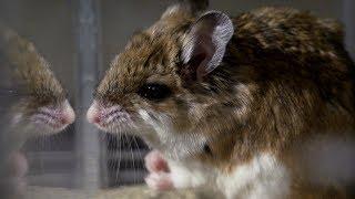Ποντίκι εξολοθρεύει δηλητηριώδη σκορπιό