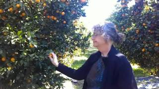 A trip to Ojai for Pixie Tangerines