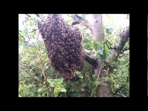 Catching a swarm of bees.  No bee suit needed