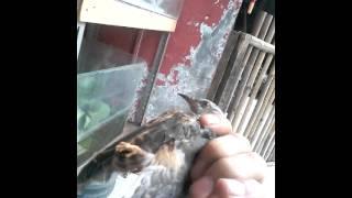 Burung titutit tit tut tit